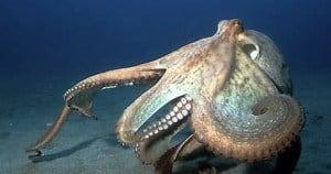 polpo di mare
